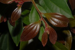 Three-veined Laurel (dustaway) Tags: nature leaves leaf rainforest australia nsw rotarypark lismore newgrowth northernrivers lauraceae arfp cryptocarya threeveinedlaurel nswrfp qrfp cryptocaryatriplinervisvarpubens subtropicalarf dryarf