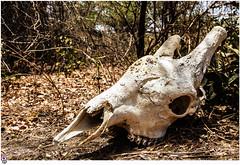 Crneo de jirafa (Juan Carlos Caadilla) Tags: giraffe senegal dakar sabana jirafa