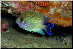 B I Damselfish (LoxPix2) Tags: loxpix australia underwater fish fiji vanuatu shark noumea cairns ascidian sponge