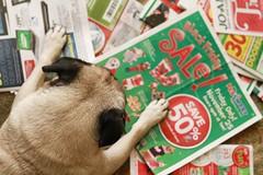 Black Friday....not just for humans. (WeeLittlePiggy) Tags: dog shopping blackfriday pug petsmart