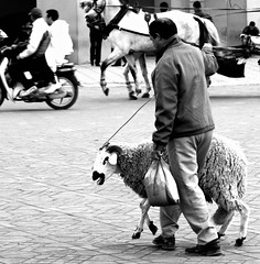 marrakech : sheepwalking (gregjack!) Tags: street blackandwhite bw man sheep morocco marrakech ewe djemaaelfns