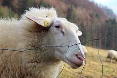 Sheep Show - Pt. II (Been Around) Tags: nov autumn trees tree fall nature animal animals fence austria österreich weide europa europe niceshot travellers herbst natur meadow wiese eu zaun sheeps oberösterreich tier autriche austrian schafe aut schaf oö ö upperaustria 2011 steyrling schafweide 5photosaday a hauteautriche concordians thisphotorocks thesheepshow visipix bezirkkirchdorf expressyourselfaward flickrunitedaward bauimage redtenbach