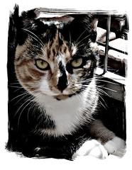 Luna girl..explore #316 (Plaithy / Yvonne IM of Annabella) Tags: november netherlands chat adorable luna gato housecat picnik 2011 bestofcats bbng