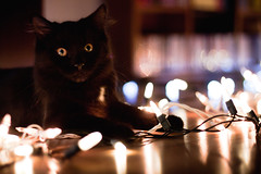 christmas kitten discovers lights. (ScreenBlog (Danimator)) Tags:
