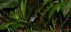 Visayan Rhabdornis-Rhabdornis rabori (Bram Demeulemeester - Birdguiding Philippines) Tags: philippines visayas aklan panay fbwnewbird bramdemeulemeester sibaliw rhabdornisinornatus birdguidingphilippines visayanrhabdornis rhabdornisrabori philippinesbirdingtours rhabdornisinornatusrabori