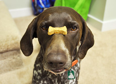 287 Bailey with a treat between her eyes (The_Little_GSP) Tags: dog germanshorthair treat trick gsp germanshorthairedpointer dogtreat dogtrick funnydogexpression littlegspphotography