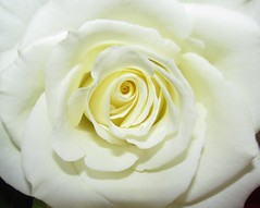 """Eternal Love.....Heavenly"" (eagle_eyes_87) Tags: christmas flowers light white flower love rose glow heavenly blessed eternal john316 purity coth pureinheart coth5 cothgoldgallery perfectpetalsadministratorsaward perfectpetalssuperawards"