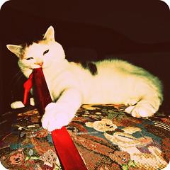 Bad Christmas Kitten (mditha) Tags: christmas red kitten sweden sunday evil swedish tortoiseshell revenge ribbon sverige jul malm asta malmo svensk mise kisse mditha