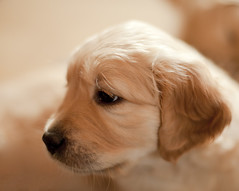 Young Golden Retriever (pe_ha45) Tags: dog chien goldenretriever pups cachorro cucciolo cachorra welpe whelps
