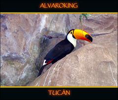 TUCN FAUNIA --Alvaroking81-- (Alvaroking81) Tags: madrid espaa photoshop zoo ave pico tropical pajaro faunia corcho plumas zoologico tucn exotico 100commentgroup blinkagain trueexcellence1 alvaroking81
