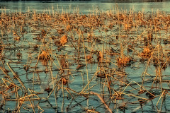 Sunlit Ice on Pond (bo mackison) Tags: urban plants broken nature water photography pond abstracts stalks botanicals madisonwisconsin strickerspond pondplants americanlotus polaroideffect seededearthphotography bomackison