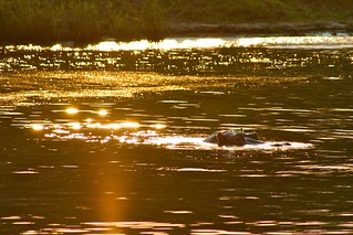 Sunset with Hippo - Zambesi River, Victoria Falls