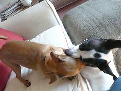 Pals!? c (dszy) Tags: chihuahua dogs bongo napoleon 2011