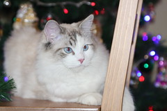 Ragdoll Cat FJALLA by alicjap, on Flickr