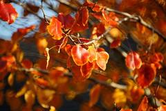 Winter leaf color in Texas (wwu124) Tags: lens mirror minolta sony alpha f56 rf 250mm catadioptric 25056 rokkorx nex3