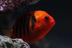 Flame Dwarf Angelfish (Ian Lambert) Tags: ocean coral hawaii marine dwarf pacificocean gravity ph sponge liverock vera marshallislands trpoical salinity pomacanthidae flameangel centropygeloricula lrfo flaminheckvera
