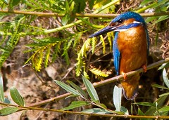 Kingfisher near it's nest (Roland B43) Tags: birds kingfisher mygearandme allnaturesparadise bbng