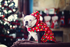 Hogwarts is ready for Christmas (alwaysgenevieve) Tags: christmas dog pet cute animal bostonterrier hoodie december bokeh 50mm14 hogwarts 2011 dogincostume canon60d