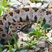 Western Pigmy Rattlesnake