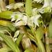 Dendrobium eriaeflorum