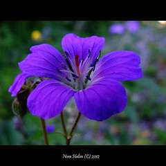 blue wild flower (nora2810) Tags: blue wild woman flower colour nature beautiful purple fujifilmfinepixs9500