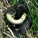 Speckled Kingsnake Consuming a Yellowbelly Racer