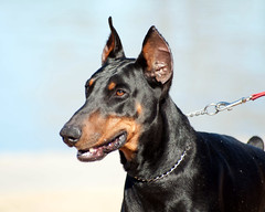 Joe (3Dobes) Tags: rescue dog phoenix puppy nikon oliver joe archie doberman shelter gordo dekan desertharbor