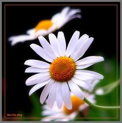 Adoro margaridas!!!!!!!!  I love daisies! (Marlia Mag) Tags: flowers flores primavera daisies canon garden jardim soe margaridas wow1 wow2 wow3 awesomeblossoms