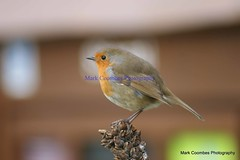 DSC00991 (Mark Coombes Photography) Tags: bird robin dorset arne