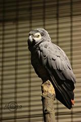 African Gray Parrot. (    , ) Tags: bird canon d african gray parrot casco doha qatar   d600 qtr   600d   kasko   kasco      blinkagain cassico 600 600