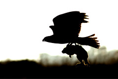Flight of the rabbit V2 [Explored best position #31] (bmse) Tags: rabbit silhouette prey redtailedhawk bolsachica salahbaazizibmsecanon7d400mm56