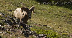 "Bighorn Sheep • <a style=""font-size:0.8em;"" href=""http://www.flickr.com/photos/63501323@N07/6690721041/"" target=""_blank"">View on Flickr</a>"