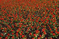 72457_TADEU NASCIMENTO_MEMORIAL UCRANIANO CURITIBA (Tadeu_Nascimento) Tags: curitiba jardins flôres memorialucraniano tadeunascimento