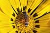 Give and Take... (puthoOr photOgraphy) Tags: flower floral flora bee honey dk honeybee lightroom flowermacro dohaqatar d90 adobelightroom tokina100mm28 nikond90 tokina100mmf28atxprod lightroom3 amazingqatar puthoor floraofqatar gettyimagehq