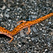 Cave Salamander Crossing the Road