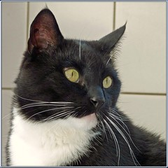 Time for Cortez (Cajaflez) Tags: portrait pet cute animal cat blackwhite kat chat long zwartwit whiskers domestic tuxedo katze cortez portret gatto huisdier dier kater lange snorharen kissablekat bestofcats catmoments 100commentgroup saariysqualitypictures mygearandme