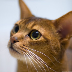 Grhan 3 (peter_hasselbom) Tags: portrait cats male cat 50mm head f14 young usual indoors abyssinian fluorescentlight ruddy cc100