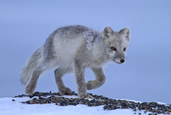 "Polarfuchs, Arctic National Wildlife Refuge, Alaska • <a style=""font-size:0.8em;"" href=""http://www.flickr.com/photos/73418017@N07/6730310507/"" target=""_blank"">View on Flickr</a>"