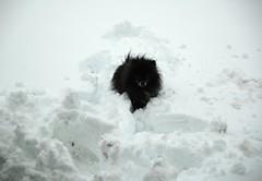 snowstorm 2012 january pomerianians frozen snow pleasetag kodi black creativecommons creative commons pomeranian hallway handsome kodiak dog rip rainbowbridge