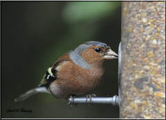MALE CHAFFINCH (Shaun's Wildlife Images....) Tags: birds shaund