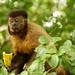 Macaco-prego_2012  28056