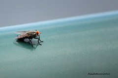 World traveler.... (Passion 4 Light) Tags: insect fly inseto mosca disease varejeira