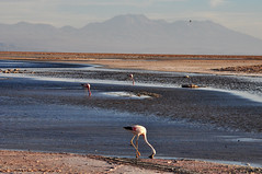 Andean flamingos (mothclark62) Tags: chile bird latinamerica southamerica wildlife flamingo atacama saltflats flamenco andean salardeatacama chaxa chilean latinamerican saltpan southamerican reservanacional atacamadesert losflamencos soncor chaxalake soncorsector