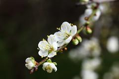 IMG_6060 (Sandor's Album) Tags: flowers flower blossom plum hsinchu taiwan       nationaltsinghuauniversity drmeimemorialgarden