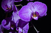 Light painted Orchid (cotty332000) Tags: uk light plant orchid flower colour beautiful garden nikon exposure tag2 tag1 purple gorgeous dramatic lovely favourite tamron brilliant 1755 tamron1750 d7000 removedfromstrobistpool nooffcameraflash seerule1