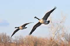 Canada Geese - Cleared for Landing (NaturalLight) Tags: park canada creek flying geese inflight landing kansas wichita chisholm chisholmcreekpark