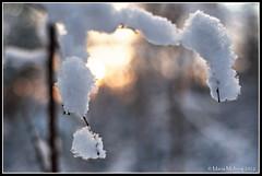 Snowed in (mmoborg) Tags: winter snow cold tree forest kyla vinter woods sweden skog sverige snö träd 2012 mmoborg mariamoborg