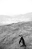 Penguin at Boulders (Lauren Barkume) Tags: africa vacation white black animal rock southafrica penguin december ct capetown jackass westerncape 2011 laurenbarkume gettyimagesmeandafrica1