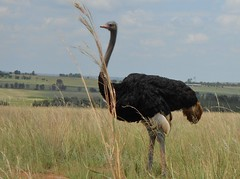 Fine Feathers do make Fine Birds!! (Cathlon) Tags: black male bird feather free ostrich scavenger7 ansh33