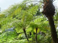 fougre arborescente1 (bhibhi2012) Tags: martinique jardin balata ferntree fougerearborescente